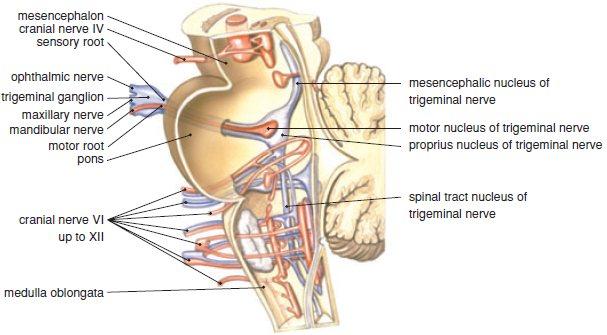Cranial Nerve 5: Trigeminal Nerve -