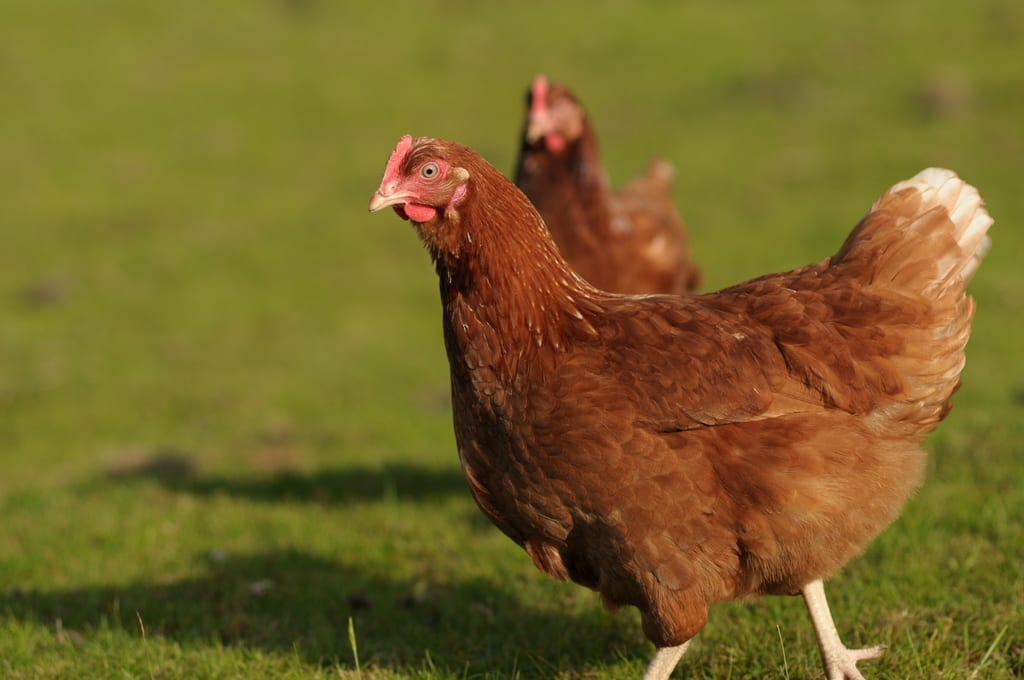 Pervert raped a hen because he 'could not get a girlfriend'