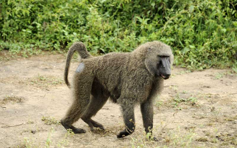Baboon causes power  cut in Zambia