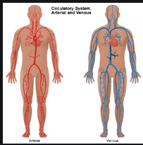 cardiovascular and peripheral vascular systems
