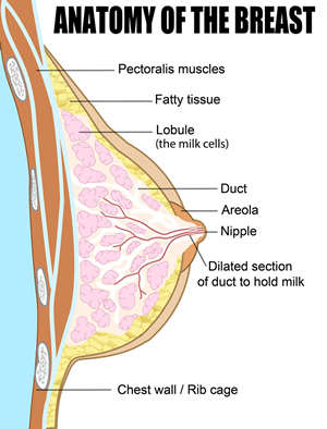 1.1.2 Breast anatomy