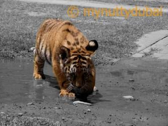 Tiger cub Camorhi - 2007