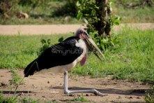 """""""Grandpa Bird"""" - aka maribou stork"""