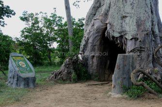 poachers hide - poaching has been eradicated in Mikumi