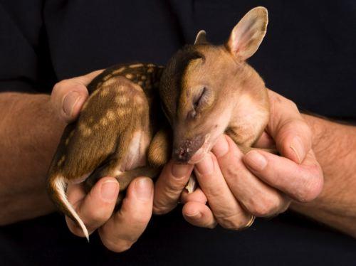 baby-deer-1-500