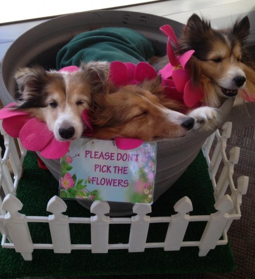 A BASKET OF SHELTIES