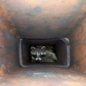 Racoon duct