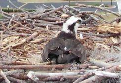 Orange Beach Osprey Nest Webcam 10