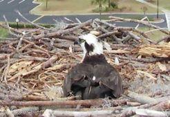 Orange Beach Osprey Nest Webcam 11