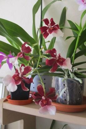 Miltonidium Bartley Schwartz in bloom