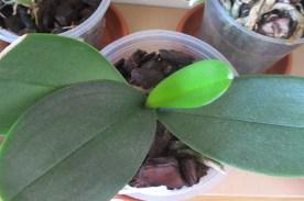 A new leaf forming on the Phalaenopsis Carmela's Pixie.