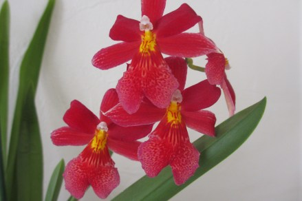 Oncidopsis Nelly Isler in bloom