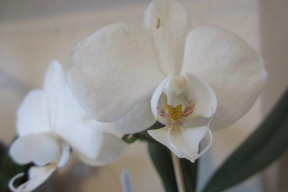 Close up of this white mini Phalaenopsis (no ID)