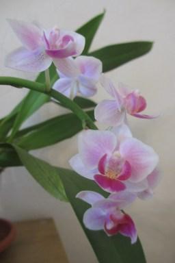 Pink mini Phalaenopsis (No ID)
