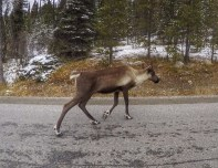 Caribou sighting