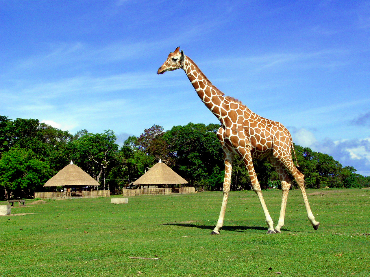 Giraffe at Calauit