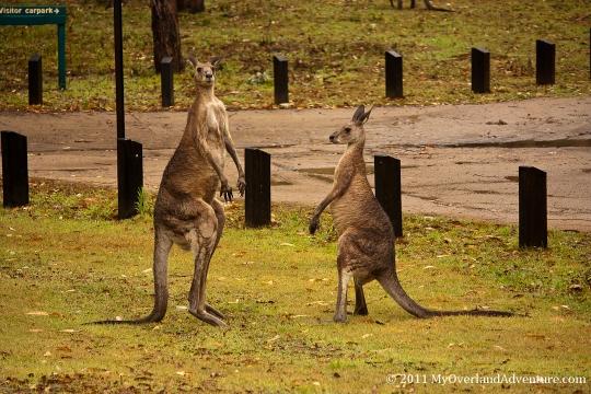 Boxing Kangaroos Pre-fight