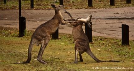Boxing Kangaroos Round One
