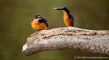 Azure Kingfishers Sharing Fish