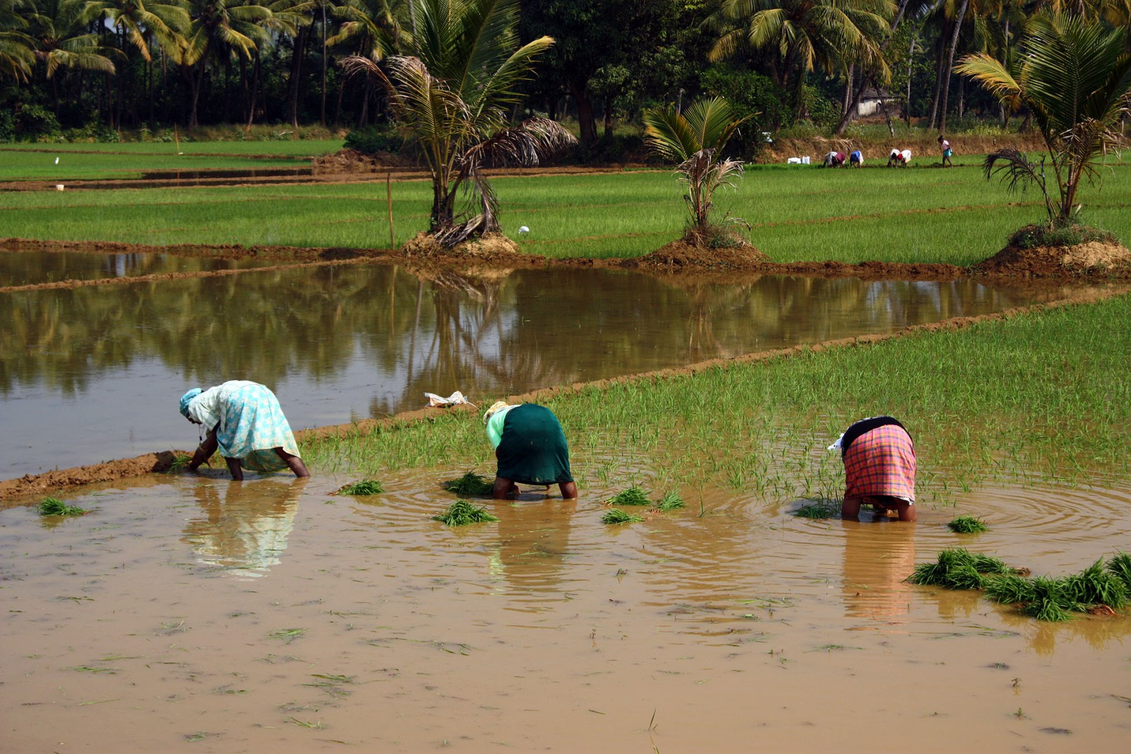 Workers in the paddy fields