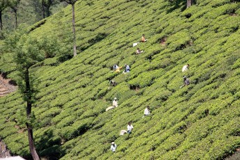 Workers hand picking tea