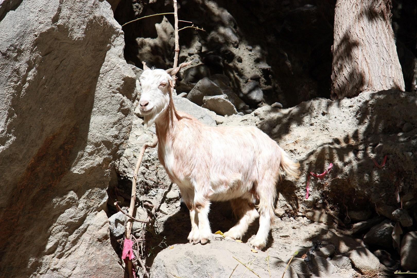 Cheeky Goat