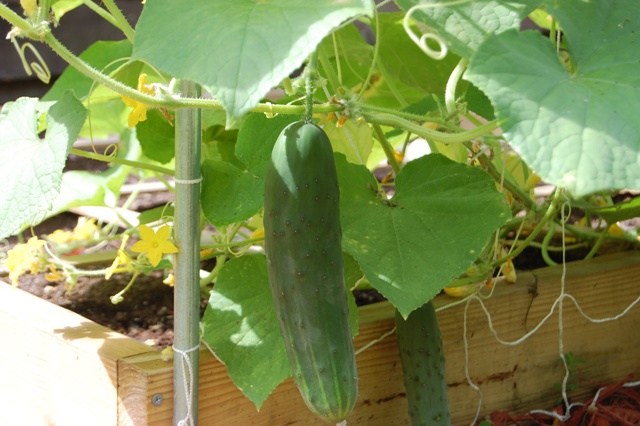 That is the first cucumber I picked