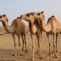 Twelve Camels banned from beauty contest for using 'Botox'