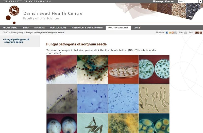 "Siden 'Photo gallery/'Fungal pathogens of sorghum seeds' fra hjemmesiden ""Danish Seed Health Centre""/ The webpage 'Photo gallery'/'Fungal pathogens of sorghum seeds' from the website: ""Danish Seed Health Centre"" – hjemmesider"
