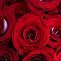 Latin Lady Red & White Roses