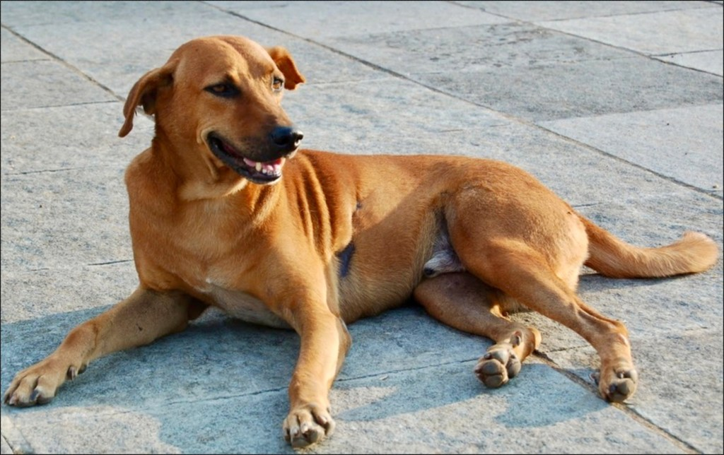 Indian Pariah in Indian dog breeds