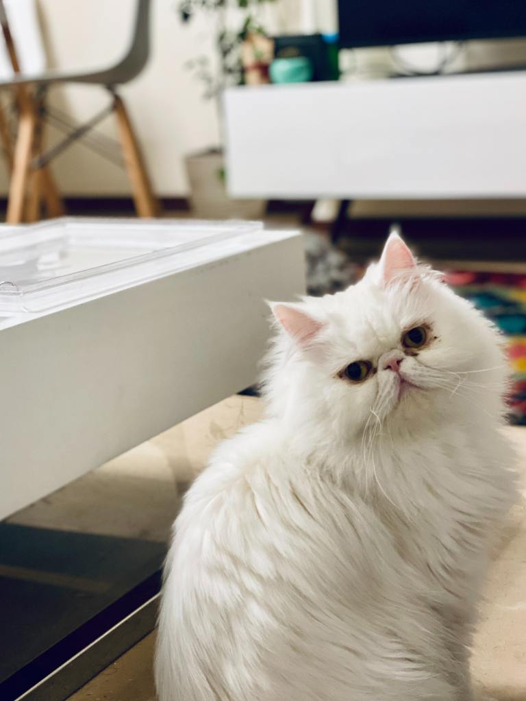 Image of a Persian Cat in Popular Cat Breeds in India