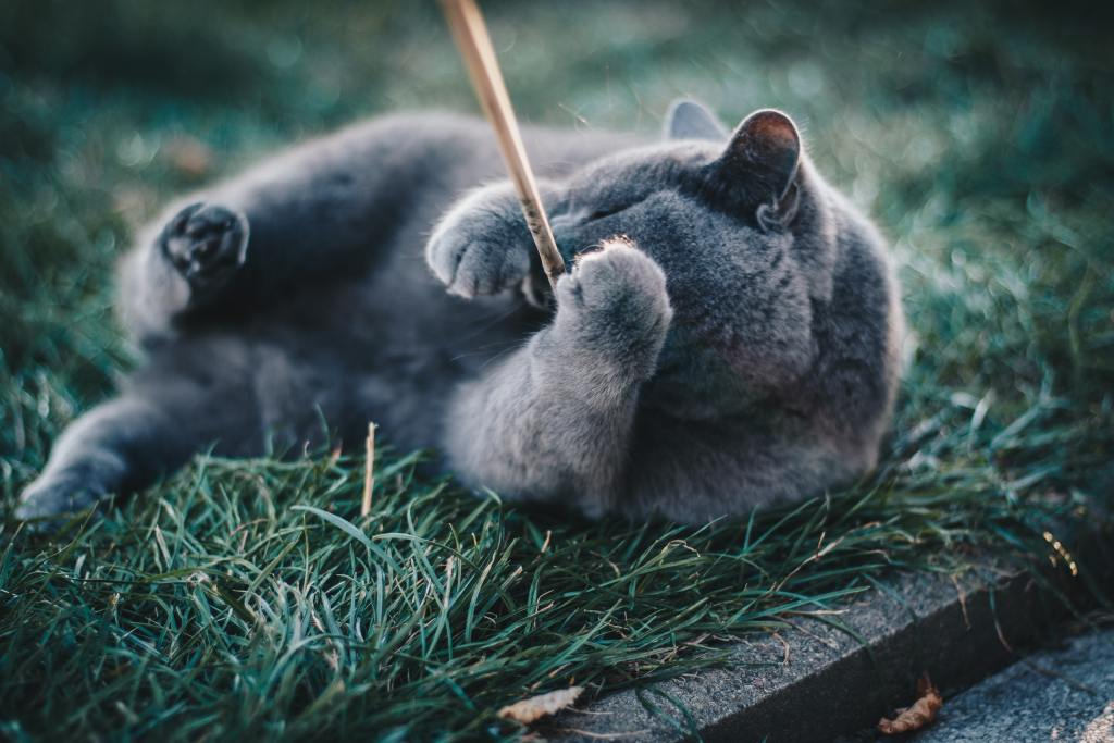 Image of a cat playing with a string toy