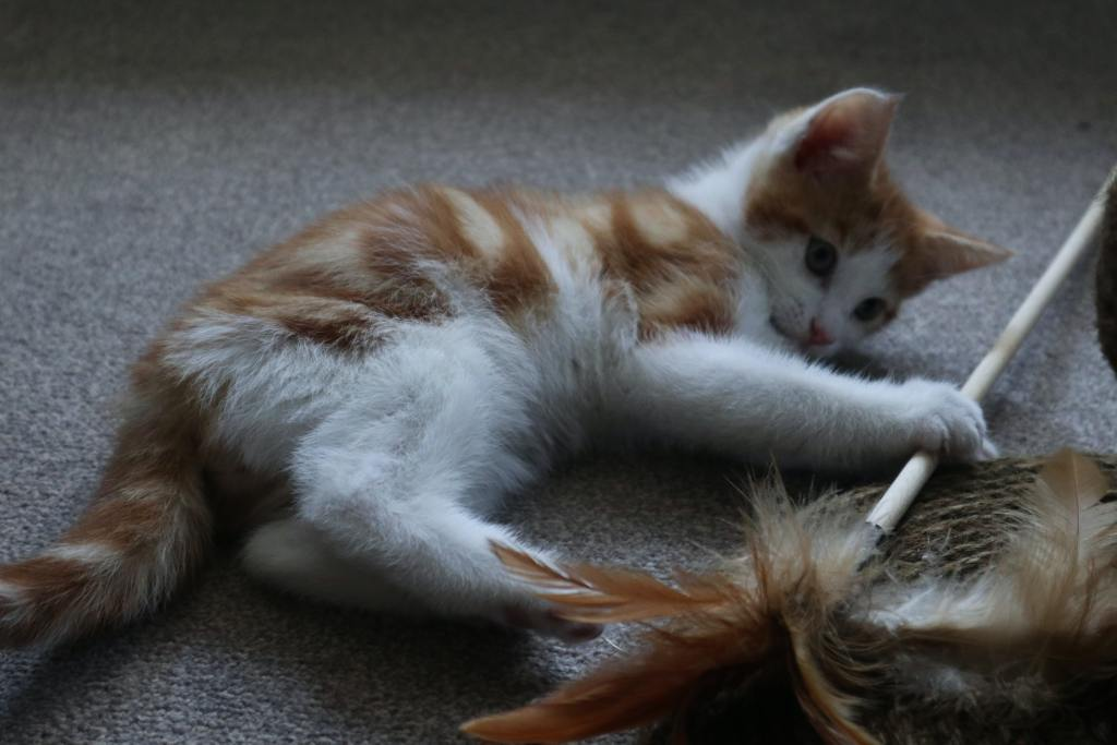 Image of a cat playing with a feather toy in the blog Cat Toys and Accessories