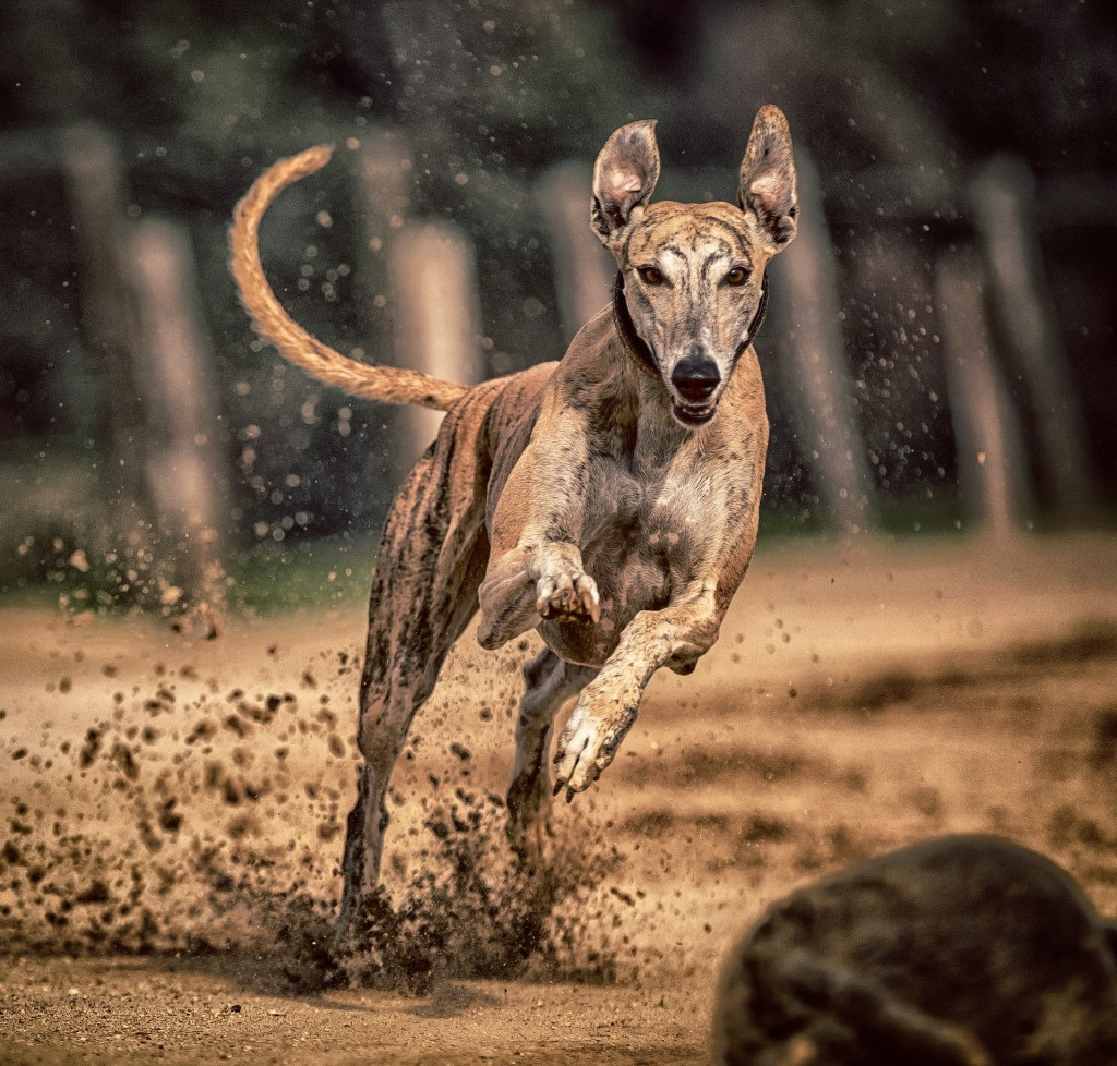 Image of a greyhound in the article popular dog breeds from A-Z Part 3