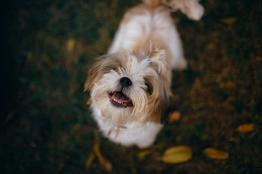 Image of a Shih Tzu in the popular dog breeds series