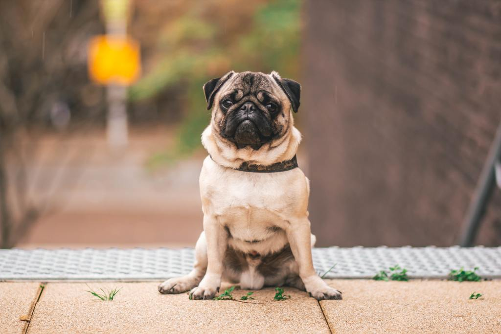 image of a pug in the article popular dog breeds