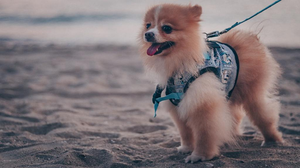 image of a Pomeranian in the article popular dog breeds