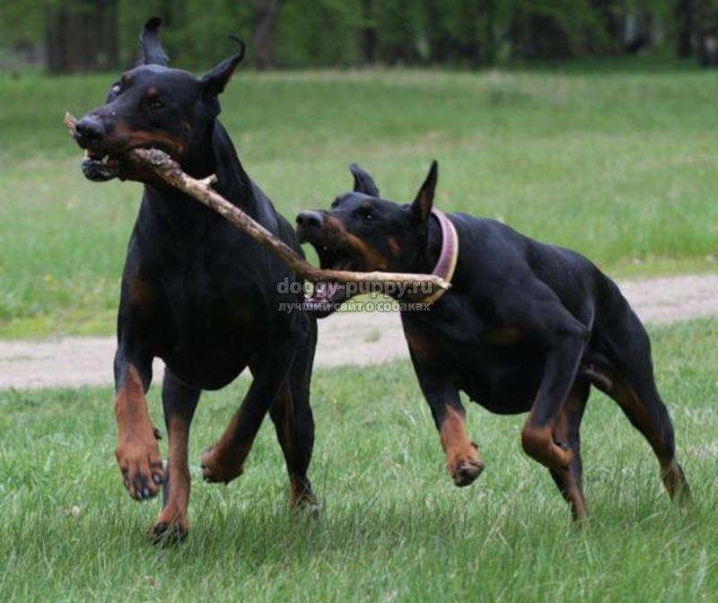 Аритмия у собак симптомы. Признаки аритмии у собак