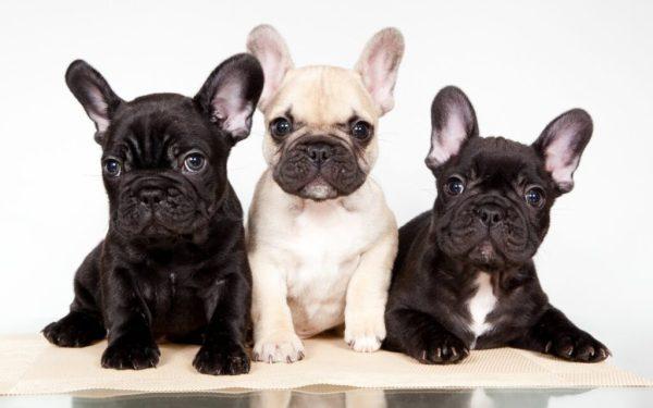 Французский бульдог. 100 фото. Прикольные фото собак, фото ...