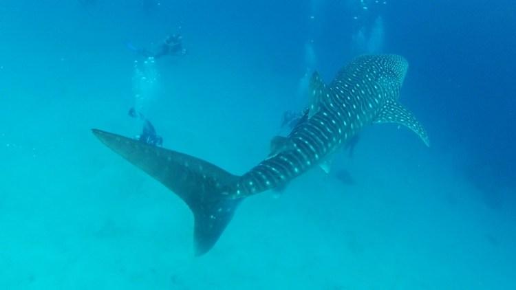 Whale shark crusing 2