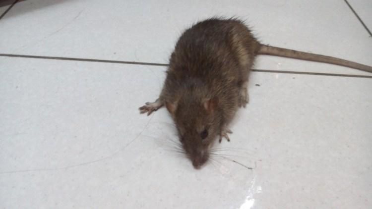 Shopping Hyper Rat on Floor