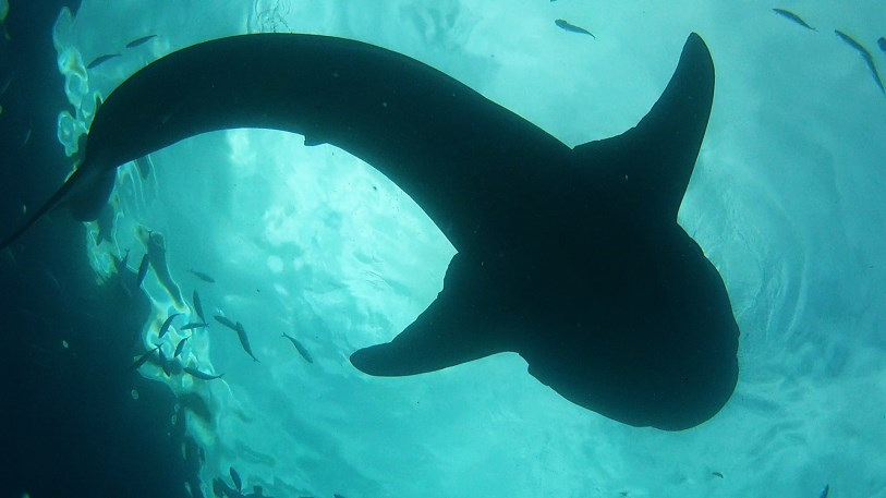Whale Shark from below
