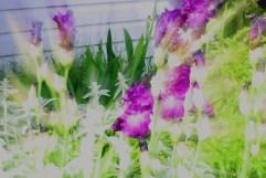 Bearded Iris Zoom Burst - May 2012