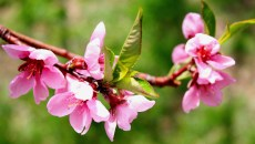Peach Blossom - April 2012
