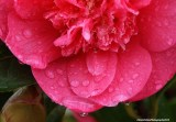 Camellia - drenched