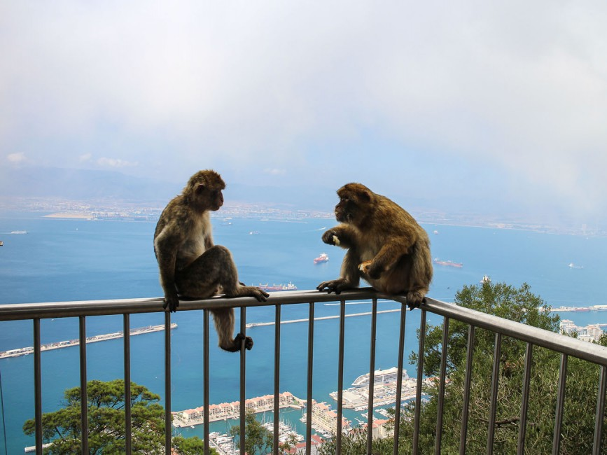 Gibraltar Apes on top