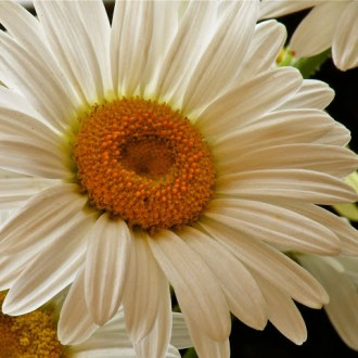 The Decision of the Flower: He Loves Me… He Loves Me Not