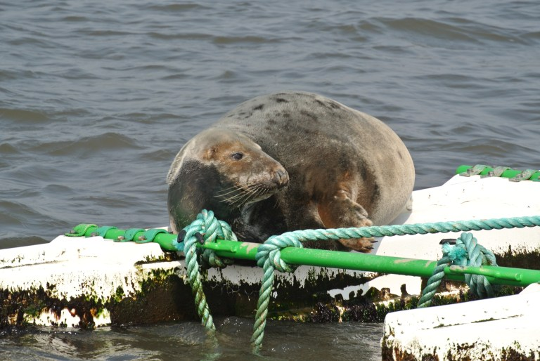 A seal sunning himself on a buoy in the Firth of Forth.