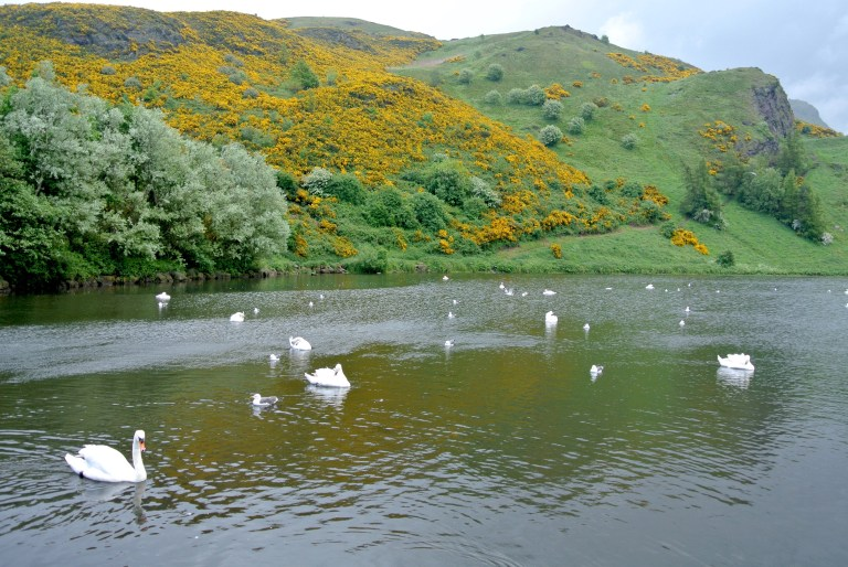Swans swimming in a pond at Holyrood Park in Edinburgh, Scotland.